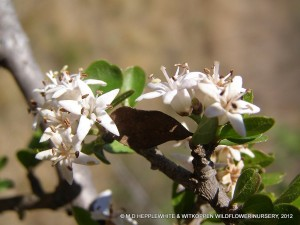 Ehretia rigida subsp. nervifolia has small but beautiful flowers, but what they lack in size, they make up in numbers.