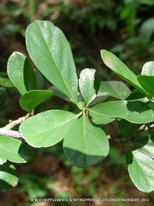 Ehretia rigida subsp. nervifolia - a photograph showing the simple, obovate leaves.