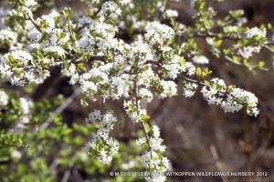 Ehretia rigida subsp. nervifolia in full flower is a special visual and aromatic experience.