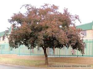 Combretum kraussii (Forest Bushwillow) is a compact tree of classic form that can be used as a shade tree in small gardens.