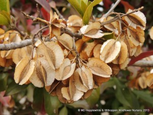 Combretum krausii (Forest Bushwillow) fruit dries to a light brown.