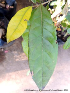 Combretum krausii leaves are simple and dark, shiny green in summer when mature.
