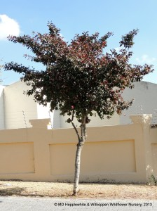 Combretum krausii (Forest Bushwillow) may be pruned up when young so that the mature tree can form a lovely shade tree.