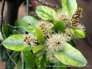 Combretum kraussii (Forest Bushwillow) has small creamy-white flowers on a short spike.
