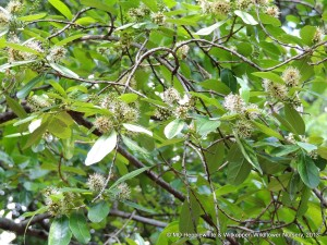 The leaves around the flowers of The leaves of Combretum krausii (Forest Bushwillow) lose their chlorophyll and give the tree a very pale appearance.