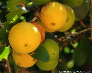 The fruit of Dovyalis caffra, Kei-apple, is edible and make delicious jams and jelly.