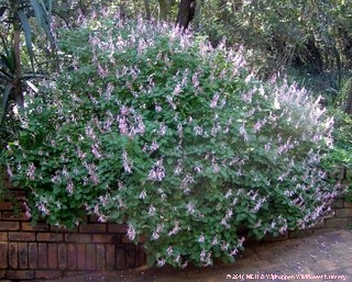 An Ocimum labiatum, Pink Sage, grown on a terrace next to a retaining wall, hanging over the wall and so softening the wall.