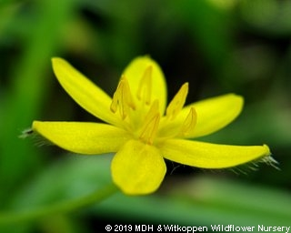 Hypoxis nitida flower