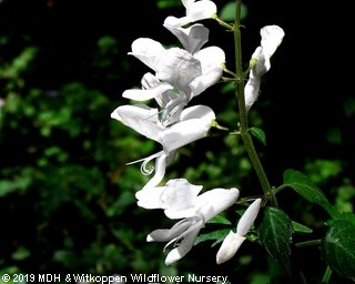 Plectranthus saccatus 'alba'