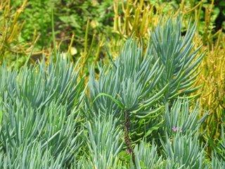 Senecio alzoides foliage