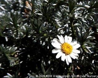 Eumophia prostrata flower