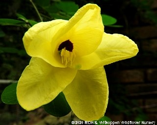 Bauhinia tomentosa flower
