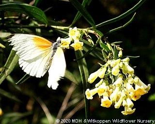Freylinia lanceolata flowers