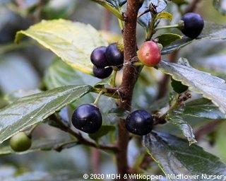 Rhamnus prinoides fruit