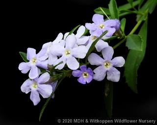 Freylinia tropica flowers