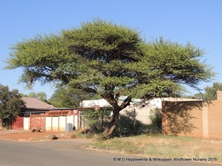 Vachellia tortilis, the Umbrella Thorn or Haak-en-steek, is an iconic African tree.