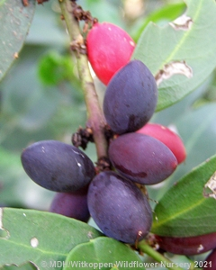The fruit of Acokanthera oppositifolia start off green, but ripen to maroon, then purple and are almost black when fully ripe.