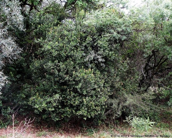 Acokanthera oppositifolia, Bushman's Poison, is typically a large evergreen shrub or small tree that grows beneath larger trees.