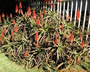 An Aloe arborescens plant in Johannesburg.