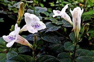 Asystasia gangetica flowers