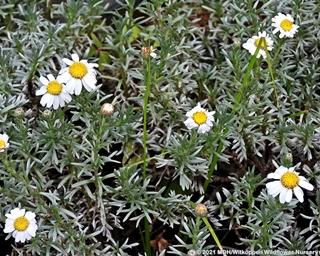 Plectranthus neochilus flower spike