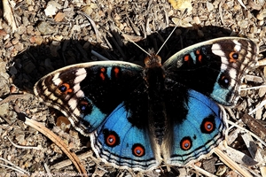 African Blue Pansy larvae feed on Asystasia gangetica