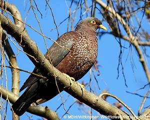 African Olive Pigeons relish Celtis africana fruit.