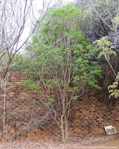 Atalaya alata tree growing in a North Riding garden.