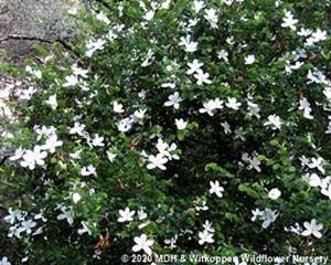 Free flowering Bauhinia natalensis.