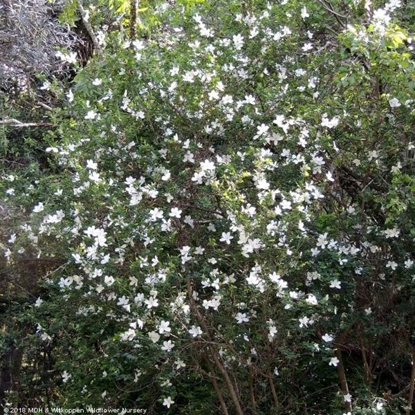 Bauhinia natalensis shrub in flower.