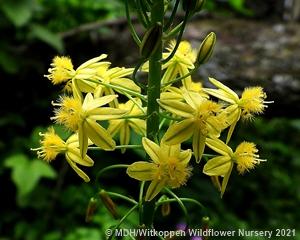 Bulbine frutescens flowers.