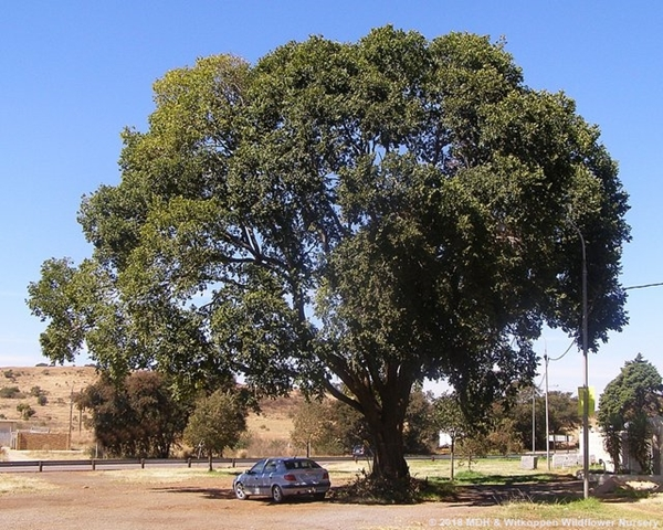 Celtis africana is a stately tree.