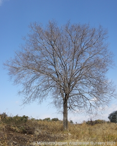 A Celtis africana tree in winter.