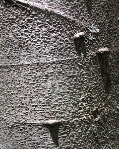 Celtis africana bark is light grey.