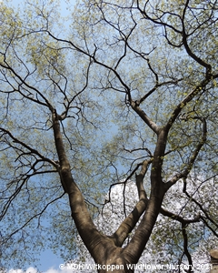 Looking up into a Celtis africana canopy.