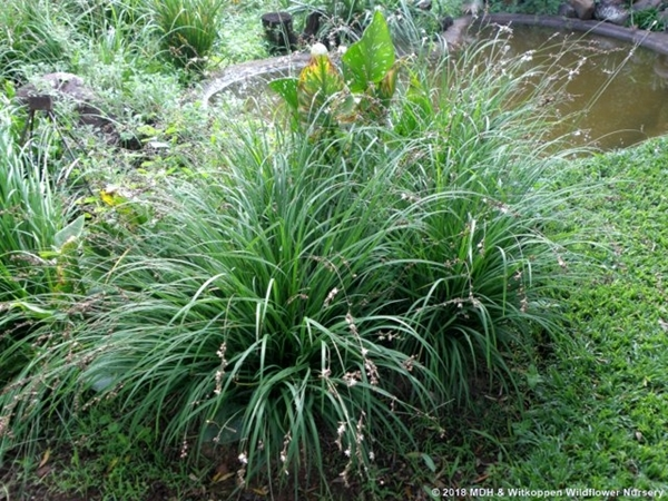 Chlorophytum saundersiae is a delicate, weeping and grass-like plant.