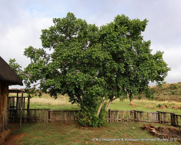 Combretum erythrophyllum tree.