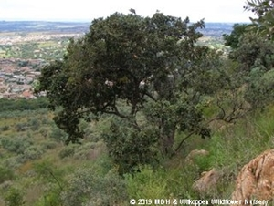 Combretum molle tree