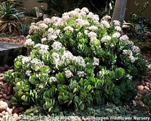 Crassula arborecens plant in flower.