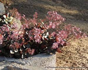 Crassula multicava in flowering.