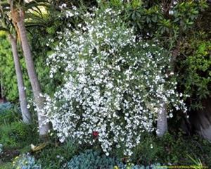 A Freylinia tropica shrub in flower.
