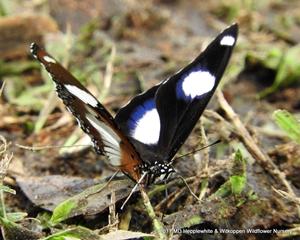 A male Common Diadem