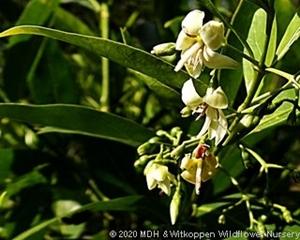 Kraussia floribunda flowers.