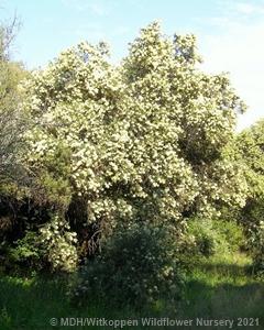 Buddleja saligna tree