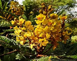 A cluster of Peltophorum africanum flowers.