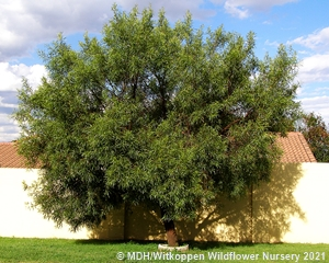 A Searsia lancea tree.