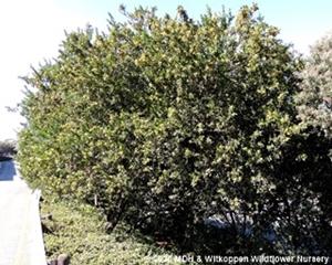 Searsia pallens tree.