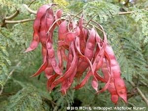 Senegalia ataxacantha red seed pods.