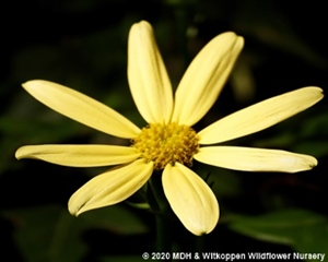 A Senicio macroglossus flower.