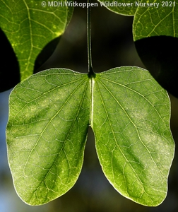 Bauhinia tomentosa has beautiful butterfly shaped leaves.